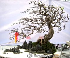 gorgeous wind swept tree penjing rock planting. A scene is created.