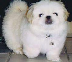 Pekingese white puppy, sweet!