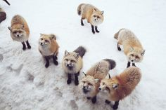 Zao Fox Village in Japan (Easy day trip from Tokyo! Fox Village Japan, Day Trips From Tokyo, Japan Travel, Japan Trip, Miyagi, Easy Day, Animal Kingdom, Places To See, To Go