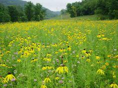 Prairie Moon Nursery :: Seeds :: Ratibida pinnata (Yellow Coneflower)