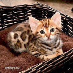 What a little tiger!! I want it!!