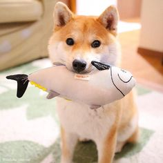 お魚くわえただいふく追っかけて 湘南T-SITEまで来ちゃいなよ   Catch fish  *  10月15日(日)  @湘南T-SITE  ワンOne day〜集まれ柴犬!!〜 だいふくも遊びに行くよ〜 写真集をお買い上げまたは持参してくれたひとに肉球スタンプ押しちゃうよ  #前回は雨で中止  #今回は晴れますように  #詳細はブログかT-SITEのHPを見てよね  #2018柴犬だいふくカレンダーと手帳発売中   #urlはプロフィールにあるよ   #ブログも更新したよ    #Regram via @daifuku_channel