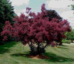 Botanical name: Cotinus coggygria f. purpureus 'Royal Purple' Common name: Smoke bush Zones: 5 to 8 Height: 12 to 15 feet Light: Sun TREES AND SHRUBS Deciduous Trees, Trees And Shrubs, Flowering Trees, Purple Smoke Bush, Patio Trees, Smoke Tree, Thing 1, Tree Seeds, Small Trees