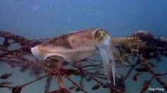 Broadclub Cuttlefish Scientific Name: Sepia latimanus dive site:Awas,mabul,sabah,Malaysia - Haoyi Huang - Google+