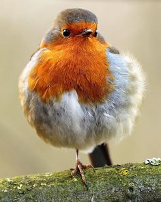 Nigel Blake sur Instagram: European Robin, Erithacus rubecula. #bestbirdshots #nigelblake #birds #ornithology #bird #robin #redbreast #rspb #gardenbirds…