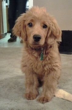 golden cocker retriever full grown. It's a puppy that looks like a puppy forever. by patricé