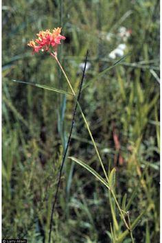 Asclepias lanceolata Purple Silkweed, Fewflower milkweed