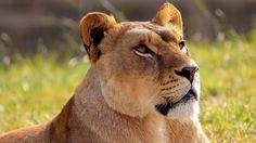 lion lioness image