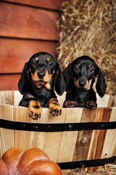 "maya47000: "" Dachshund puppies by Olga Khazai  """