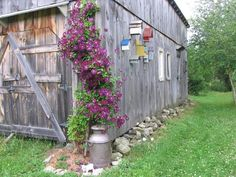 Clématite Jackmanii sur la grange avec collection de cabanes à oiseaux et bidon de lait.