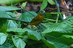 Passerine's Tanager @Costa Rica @Andreas Grieger Photography