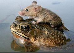 Fare ve Kurbağa