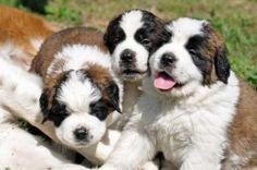 saint bernard puppies images