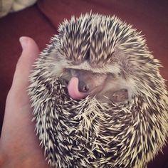 Prickles likes to lick her nose #hedgehog #hedgie #pricklesthehedgie