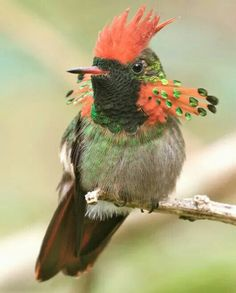 Gekuifde koketkolibrie - Tufted Coquette (Lophornis ornatus) in French Guiana by Michel Giraud-Audine.