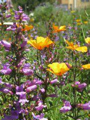 California Native Bee Garden – #11 Berkeley Lot size: 30'x 190' Garden Age: The bee garden was created in 2003; 75% native