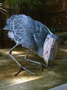 Le shoebill . Ils deviennent très grand, plus de 115-150 cm (45-64 po) de hauteur, avec une envergure de 230-260 cm (91-125)