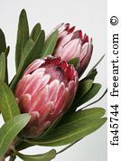 Beautiful vector image with nice watercolor tropical flower protea. Free art print of Watercolor tropical flower protea.