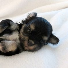 ''Ginger Two'' Pups  D.O.B. 7 - 1- 12 Male One Black And Tan   And Silver  With A White Chest  And Chin   Exp. 4 to 5 lb