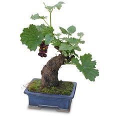 Cabernet Bonsai Tree, Miniature Cabernet Vine, Unique Wine Gift