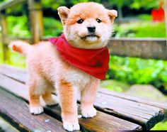"WANT!!! A Mameshiba is actually a mini ""Shiba Inu""  (which means small dog in Japanese). It is a very old Japanese breed, a smaller cousin to the Japanese Akita, with a somewhat fox-like appearance."