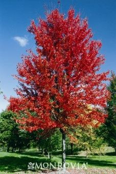 Autumn Blaze® Maple -  Acer x freemanii 'Jeffsred'. An improved hybrid with brilliant, long lasting orange-red fall color, a uniform branching habit and rapid growth rate. Thrives in much warmer climates extending well into the deep south and west. An excellent lawn, park or street tree. Rapid grower 50 to 60 ft. tall, 40 ft. wide.