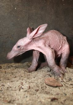 Burgers' Zoo, in the Netherlands, recently welcomed a new Aardvark cub! Check out ZooBorns to learn more and see more! http://www.zooborns.com/zooborns/2015/08/a-is-for-aardvark-at-burgers-zoo.html