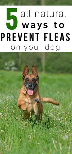 Pesticides on your dog? No thank you! Fleas? Don't want those, either! Here are 5 all-natural ways to prevent fleas on your dog and keep the potent chemicals off of your pooch!