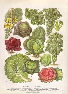 Vintage Leaf Vegetable Botanical Print Food Plant by AgedPage, $10.00
