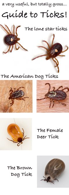 What do ticks look like? We bring you the ultimate guide to dog tick identification, illnesses, treatment and prevention! Ticks On Dogs, Deer Ticks, All Dogs, Tick Bites Pictures, Dog Pictures, Dog Health Tips, Pet Health, Health Care, Tick Bites On Dogs