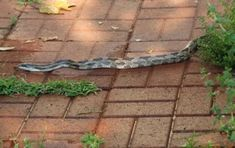 Snake Hides, Rat Snake, Reptiles, Mammals, Black Rat, Poisonous Snakes, Small Lizards, Beautiful Snakes, Homemade Dog Food