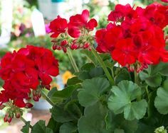 Many plants are introduced every year, but how many really make the must-have list for gardeners around the country? Lovely Perfume, Red Geraniums, My Secret Garden, Hgtv, House Plants, Backyard, Inspiration, Beautiful, Dark Red