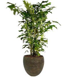 Meer dan 1000 afbeeldingen over kamerplanten op pinterest for Grote kamerplanten