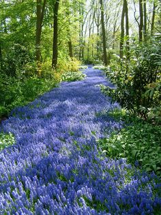 A field of grape hyacinth in Holland Pictures Of Beautiful Places, Beautiful Sites, How Beautiful, Spring Flowering Bulbs, Camping Places, Spring Sign, Planting Bulbs, Easy Garden, Garden Projects