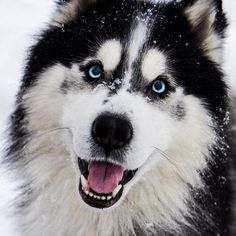 Wonderful All About The Siberian Husky Ideas. Prodigious All About The Siberian Husky Ideas. Alaskan Husky, Alaskan Malamute, Funny Dogs, Cute Dogs, Most Beautiful Dogs, Beautiful Wolves, Absolutely Gorgeous, Australian Shepherd Dogs, Cute Dog Pictures