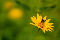 Sexy Yellow by Aziz Nasuti on Insects, Bee, Yellow, Plants, Animals, Honey Bees, Animales, Animaux, Bees