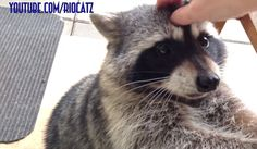 Fred the Friendly Raccoon - Part 1 (See Youtube for more of Fred's Videos!!)