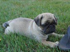 Pug Puppies- AKC, Purebred, Reputable Breeder