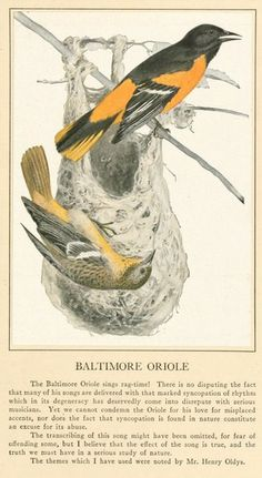"Baltimore oriole illustration. From the public domain book, ""Twenty-five bird songs for children; 1916."" Download this book in its entirety as a kindle, epub or pdf file here: https://archive.org/stream/twentyfivebirdso00olds"