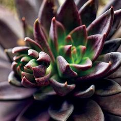 NEW! Echevaria hybrid A small growing rosette style succulent with dramatic dark colouring and green markings to the inside of the rosette. Dark red flowers are held above the foliage in Summer, adding an extra sense of drama to these delightful and easy to grow plants. As with all succulents, a well drained to …