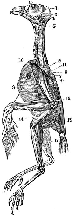 bird Muscle Anatomy | Fig. 355. Wing of Bird. | Biology | Pinterest ...