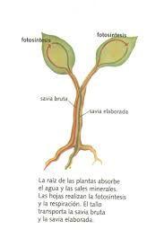Que Es La Savia Bruta De Los Arboles Busqueda De Google Fotosintesis Fotosintesis Y Respiracion Fotosintesis De Las Plantas