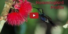 This EdTechLens blog post describes how hummingbirds helps pollinate the different plants in the rainforest as well as how it flies and its appetite.