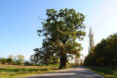 Stejarul secular din Remetea | Bihor in imagini Mai, Country Roads
