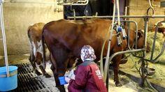 Alma Cow, Animals, Animales, Animaux, Cattle, Animal, Animais