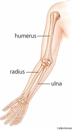 Radius (radial bone) - The shorter of the two long bones of the forearm, extending from the elbow to the wrist; it is the bone on the thumb side of the arm.