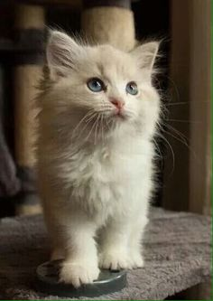 Cats And Kittens Cattery Ballina Cat Kittens And Mom Cat's 🐈 Kittens And Puppies, Cute Cats And Kittens, I Love Cats, Crazy Cats, Cool Cats, Kittens Cutest, Ragdoll Kittens, Funny Kittens, Tabby Cats