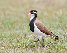 Banded Lapwing It is found over most of Australia and Tasmania though is absent from the northern third of the continent.