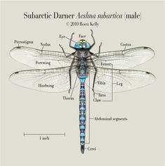 Another fact is that adult dragonflies will devour just about anything they can catch. Dragonflies usually eat mosquitoes, bees, gnats, butterflies, termites, and other bugs. When they are in the nymph stage, they eat small fish, tadpoles, mosquito larvae, worms, and aquatic insects.