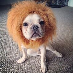 frenchie funny pics - Google Search